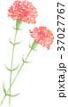 カーネーション 花 植物のイラスト 37027767