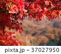 紅葉 楓 葉の写真 37027950