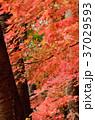 紅葉 楓 枝の写真 37029593