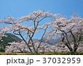 春 桜 ソメイヨシノの写真 37032959
