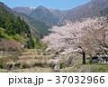 春 桜 ソメイヨシノの写真 37032966