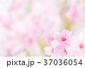 桜 春 花の写真 37036054