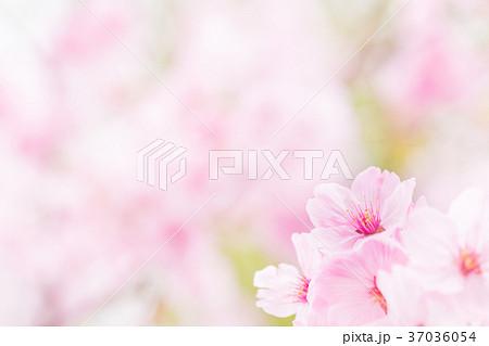 桜イメージ 37036054