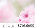 桜 春 花の写真 37036055