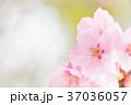 桜 春 花の写真 37036057