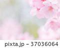 桜 春 花の写真 37036064