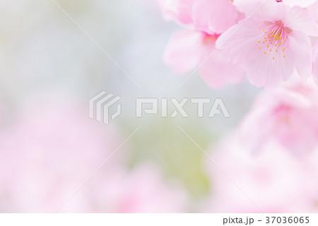 桜イメージ 37036065