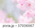 桜 春 花の写真 37036067