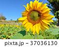 明亮多彩的黃色向日葵。 淺景深。 37036130