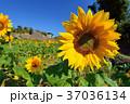 明亮多彩的黃色向日葵。 淺景深。 37036134