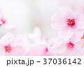 桜 春 花の写真 37036142