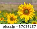 明亮多彩的黃色向日葵。 淺景深。 37036157