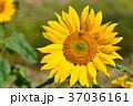 明亮多彩的黃色向日葵。 淺景深。 37036161