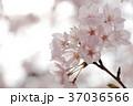 さくら 桜 花の写真 37036566