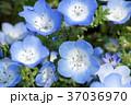 花 ネモフィラ 瑠璃唐草の写真 37036970