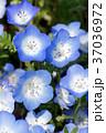 花 ネモフィラ 瑠璃唐草の写真 37036972