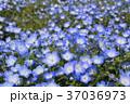 花 ネモフィラ 瑠璃唐草の写真 37036973