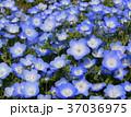 花 ネモフィラ 瑠璃唐草の写真 37036975