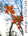 秋 あき 秋のの写真 37037149