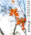 秋 あき 秋のの写真 37037150