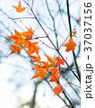 秋 あき 秋のの写真 37037156