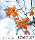 秋 あき 秋のの写真 37037157