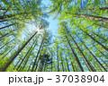 新緑のカラマツ林 37038904