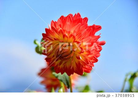 ダリアの花 インフォーマルファイアー 37038915