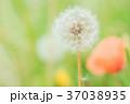イメージ_タンポポ綿毛 37038935