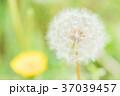 イメージ_タンポポ綿毛 37039457