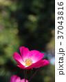 一重咲きのバラ 37043816