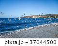 カモメ 海岸 海の写真 37044500