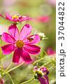 花 コスモス 蜂の写真 37044822