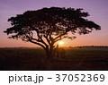 樹木 樹 ツリーの写真 37052369