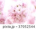 ヤエザクラ 桜 花の写真 37052544