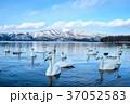 白鳥 屈斜路湖 野鳥の写真 37052583