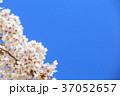 桜 春 花の写真 37052657