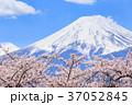 富士山 桜 世界文化遺産の写真 37052845