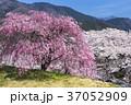 晴れ 春 桜の写真 37052909