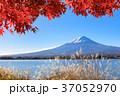 富士山 秋 紅葉の写真 37052970