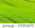 茶畑 新茶 富士宮の写真 37053075