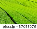 茶畑 新茶 富士宮の写真 37053076