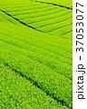 茶畑 新茶 富士宮の写真 37053077