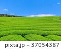 茶畑 新茶 富士宮の写真 37054387