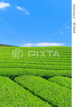 富士宮_快晴映える新茶畑 37054391