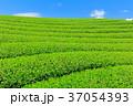 茶畑 新茶 富士宮の写真 37054393