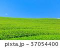 茶畑 新茶 富士宮の写真 37054400