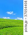 茶畑 新茶 富士宮の写真 37054408