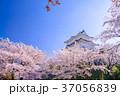 桜 小田原城 春の写真 37056839