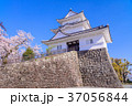 桜 小田原城 春の写真 37056844